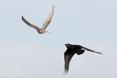 Kestrel and Crow (Andrew_Leggett) Tags: carrioncrow kestrel corvuscorone falcotinnunculus chase hunt warning pursued bird birds aerialbattle wild wildlife nature natural givechase pursue message unwanted rspboldmoor andrewleggett sky