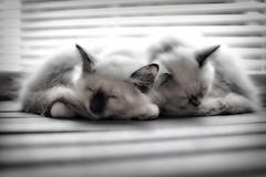 stripes (Uniquva) Tags: smileonsaturday stripesandlines blinds windowlight kitties