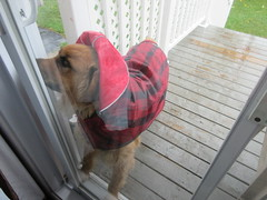 ** Un jour de pluie ** (Impatience_1 (Joyeuses Fêtes / Season's Greetings) Tags: zipper chien dog animaldecompagnie pet bête pitou canin canine animal imper vêtement clothing pluie rain m impatience supershot coth hganimalsonly abigfave coth5
