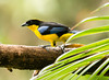 IMG_6061  Blue-winged Mountain Tanager