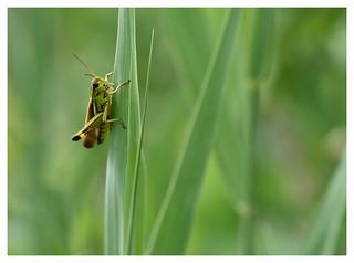 Criquet !  Grasshopper!