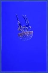 Spotted Jellyfish (Note-ables by Lynn) Tags: jellyfish spottedjellyfish ripleysaquariumofcanada toronto marinelife