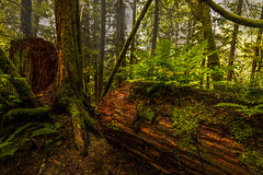 "Silence stands between the trees (Photography by Julia Martin) Tags: photographybyjuliamartin fallentree forest britishcolumbia canada verdant ferns moss silencestandsbetweenthetrees ""silencestandsbetweenthetreeswaitingforthewindsroar""―martyrubin thujaplicata westernredcedar treemendoustuesday htmt"