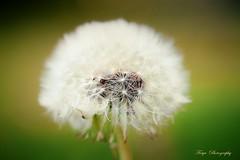 Dandelion wishes... (Maria Godfrida) Tags: macro closeup nature plants flora dandelion seeds fluffy tamron nikon 7dwf