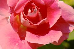 Pink rose (s_gulfidan) Tags: rose dew şebnem gül flowerarebeautiful rosa thebestofmimamorsgroups 200faves
