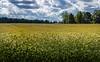 grain field near palmse manor, estonia