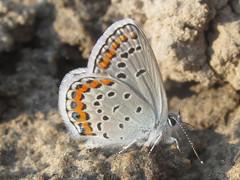 Melissa blue (Plebejus melissa), male (tigerbeatlefreak) Tags: melissa blue plebejus insect butterfly lepidoptera lycaenidae nebraska