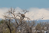 Life on a mountain lake... (Anne Marie Fraser) Tags: colorado lake mountains mountainlake eaglesnest baldeaglesnest wildlife nature pelicans flying americanwhitepelicans nest tree