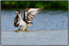 Osprey taking a bath (RKop) Tags: 600mmf4apogminolta a77mk2 raphaelkopanphotography florida sony