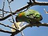 Purple-crowned Lorikeet at Winchelsea (Kerry Vickers) Tags: birds lorikeets