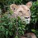 Mara Safari-0105.jpg