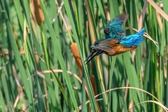 Iniciando el picado (jordi51) Tags: alcedoatthis martínpescador blauet kingfisher jordi51 aves birds nature wildlife naturaleza