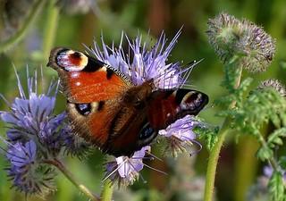 Tagpfauenauge (Aglais io) auf Bienenfreund , NGID1585326400