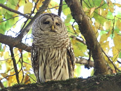 Sleepy afternoon  :) (Paridae) Tags: owl owlsofbritishcolumbia barredowl strixvaria familystrigidae thingswithwings featheredfriends afewofmyfavouritethings birdsofbritishcolumbia birdsofprey sleepy canoneos7d