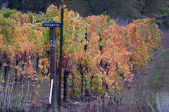 dolcetto (what's_the_frequency) Tags: dolcetto winery melrosewinery vineyard grapes wine harvest october fall autumn roseburg oregon canon sx50hs 365 365pic project365