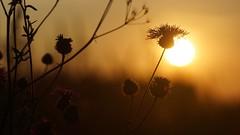 *** (pszcz9) Tags: przyroda nature natura zbliżenie closeup kwiat flower zachódsłońca sunset bokeh beautifulearth sony a77