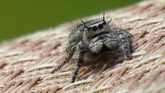 Arachtober: Jumping spider Explored 10/26/2017! Thank you !! (Hayseed52) Tags: arachtober arachnid spider summer nature virginia jumpingspider