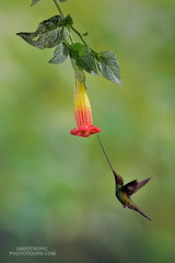 Sword-billed-Hummingbird (www.NeotropicPhotoTours.com) Tags: hummingbird ensiferaensifera swordbilledhummingbird neotropicphototours ecuador juancarlosvindas flyingjewelsofecuador