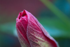 365-300 (Letua) Tags: 365project capas colorado dof flor flower hibisco hibiscus macro naturaleza nature pimpollo primavera red rojo rosachina spring textura