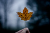 The Midnight Leaf (Nicholas Erwin) Tags: autumn leaf bokeh midnight moonlit nature naturephotography creepy halloween earlymorning bluehour depthoffield dof nikon d610 nikkor 5018g waterbury vermont vt unitedstatesofamerica usa america night fav10 fav25 fav50