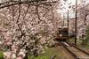 Tunel-Sakura-Kioto-Randen-18 (luisete) Tags: hanami japan japón randen túneldesakura tranvía tramway kioto kyoto