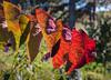 Morning Light (12bluros) Tags: autumn autumncolors leaves fall colorful canonef100mmf28lmacroisusm nybg 4seasons leaf flora foliage