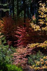 Yosemite Fall Dogwoods III (Jeffrey Sullivan) Tags: dogwood trees fall colors yosemite national park california usa night landscape nature photography canon eos 5dmarkiii jeffsullivan photo copyright october 2012 jeff sullivan