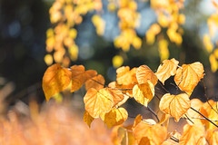 Fall Colors (mclcbooks) Tags: leaf leaves fall autumn color bokeh denverbotanicgardens colorado