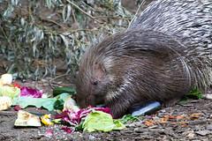 DSC_5376 (Bianca Wolfsteiner) Tags: tierparkhellabrunn stachelschwein