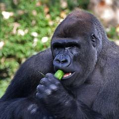 9855 Blijdorp mannetje Bokito groep (j@n2012) Tags: blijdorpzoo bokito gorilla anthropoidape mensaap
