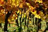 Colours of autumn in the winyard (Charli 49) Tags: nature naturfotografie weinberg wineyard herbst automn frühnebel gegenlicht
