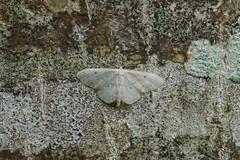 Small Fan-footed Wave / Truie (Dr Wood's Wildlife Photos) Tags: smallfanfootedwave idaeabiselata geometridae truie acidaliefrangée breitgesäumtergebüschkleinspanner skovengmåler schildstipspanner bordengmåler tupsukulmumittari tofsfotadlövmätare 1702 moth lichen
