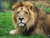 The Lion King (havans) Tags: lion leeuw kin koning wild