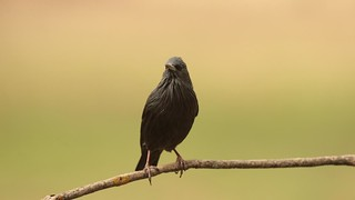 Estorninho-preto | Sturnus unicolor | Spotless starling