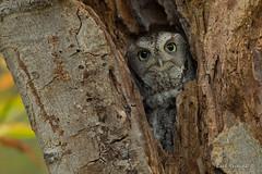 Trump.. stump.. (Earl Reinink) Tags: stump bump trump owl raptor bird animal tree autummn earl reinink earlreinink nature woods fall autumm hole deddaudira easternscreetchowl