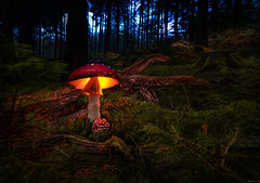 Back to the Forest (Eifeltopia) Tags: moss mushroom fliegenpilz toadstool flyagaric wald südeifel deadwood undergrowth germany champignonvénéneux setavenenosa bosque forest autumnal herbstlich autumn herbst setas glowing red poisonous amanite letuemouche fungus fungi pilz explore schirm hut rot wood holz root wurzel oly brancoconsdorf