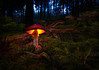Back to the Forest (Eifeltopia) Tags: moss mushroom fliegenpilz toadstool flyagaric wald südeifel deadwood undergrowth germany champignonvénéneux setavenenosa bosque forest autumnal herbstlich autumn herbst setas glowing red poisonous amanite letuemouche fungus fungi pilz explore schirm hut rot wood holz root wurzel oly