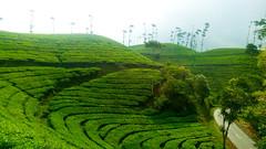 Green Tea (sidiksubagja) Tags: nature love greentea landscape beautifull wonderfull indonesia