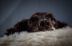 here am I (Flemming Andersen) Tags: zigzag spaniel pet dog cocker nose closeup looking animal jelling regionofsoutherndenmark denmark dk