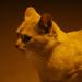 Gato costero