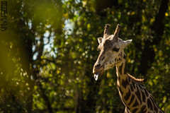 Tell me how you feel (SMPhotos2548) Tags: giraffe animal zoo bronx bronxzoo ny newyork