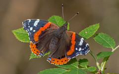 JWL1239  Red Admiral.. (jefflack Wildlife&Nature) Tags: redadmiral butterflies butterfly lepidoptera insects insect wildlife wildflowers heathland hedgerows countryside copse gardens parklands scrub norfolk nature ngc npc