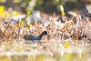 Oh, How Coot... (brendon_curtis) Tags: canon 7dmkii sigma 150600 150600mm s sport bokeh bokehlicious orange fall autumn coot blue heron hunter hunt hunting