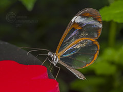 _IMG2082  Glasswing Butterfly (Pete.L .Hawkins Photography) Tags: glasswing butterfly greta oto chester zoo tropical clearwings petehawkins petelhawkinsphotography petelhawkins petehawkinsphotography pentax 100mm macro pentaxpictures pentaxk1 fantasticnature fabulousnature incrediblenature naturephoto wildlifephoto wildlifephotographer naturesfinest unusualcreature naturewatcher insect invertebrate bug 6legs compound eyes creepy crawly uglybug bugeyes fly wings eye veins flyingbug flying