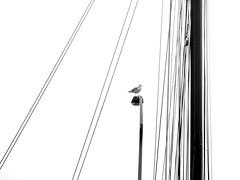 kiel_PB048943_bw (ghoermann) Tags: deu dã¼sternbrook geo:lat=5433673853 geo:lon=1015781522 geotagged germany kiel schleswigholstein bird sailing düsternbrook