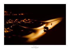 Coco aux portes de l'enfer (Naska Photographie) Tags: naska macro macrophotographie macrophoto minimaliste minimalisme photographie photo photographe paysage proxy proxyphoto collembole collembola microcosmos micro microfaune petit miniature color couleur flare flou ambiance univers monochrome orange feu fire devil enfer créatif art artistique artist dicyrtomidae