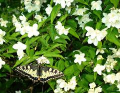 butterfly (helena.e) Tags: helenae fjäril butterfly flower blomma vit white green grön explore