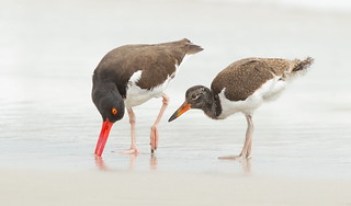 American Oystercatcher with juvi.