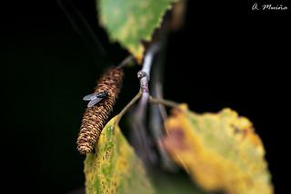 Birch, seed and fly. Abedul, semilla y mosca