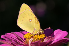 Clouded Sulphur (sethjschubert) Tags: wildlife cloudedsulphur butterfly blossom flower zinnia bloom yellow nature insect wildoklahoma